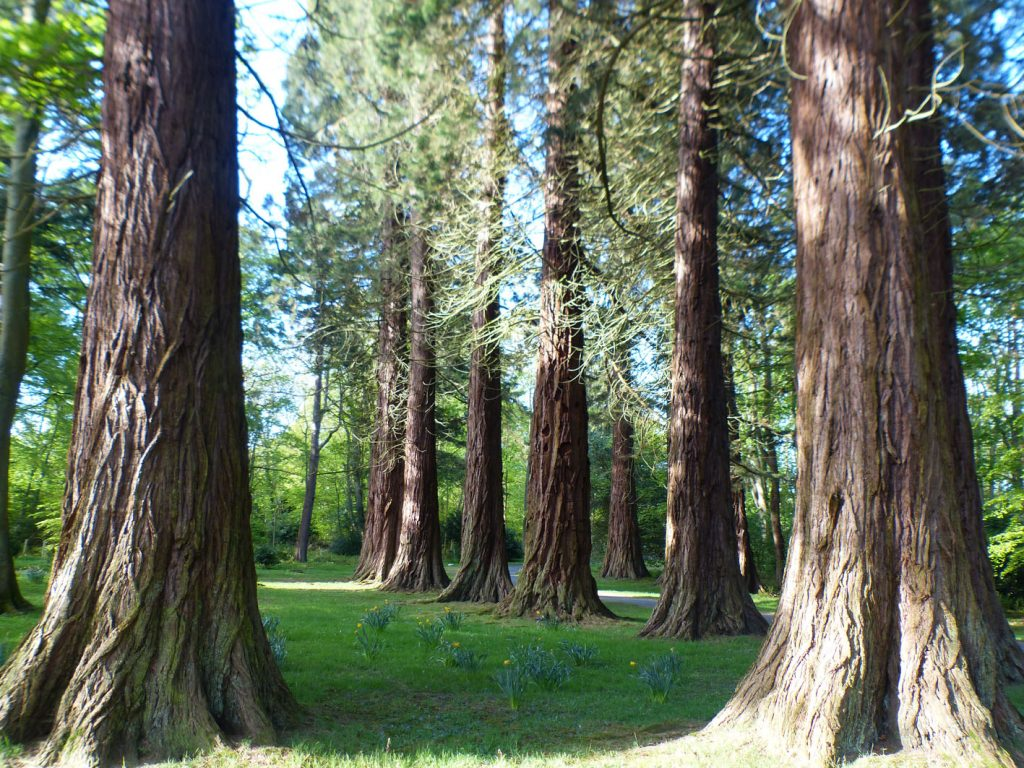 the majestic sequoia trees